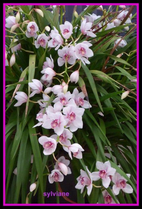 Mon Orchidée,elle a environ 45 tiges de fleurs.