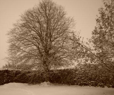 Pensées d'hiver.