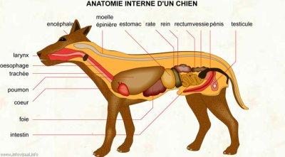 Anatomie du chihuahua