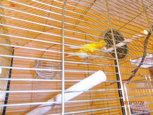 mon couple de canari ou que je croi quil va bientot pondre mes pas encor de nid a suivre 1er phot la femelle 2eme le male