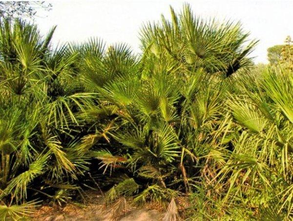 Les plantes sauvages de Cap Matifou