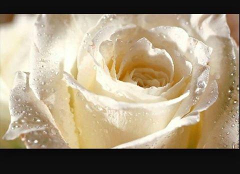 des roses blanches pour les 11 ans de Kenzo de la part de toutes celles qui l'aime