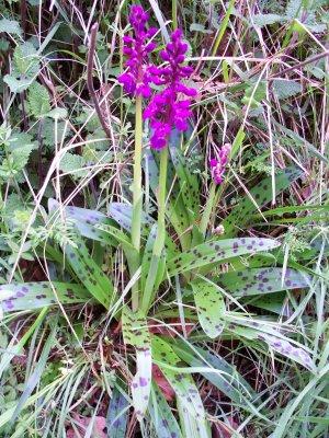 orchidee sauvage de normandie