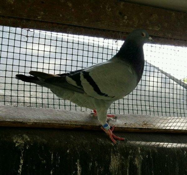 Quelque pigeon