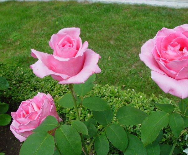 "La rose ""Tour Eifel""...   Die Rose ""Eifelturm"""