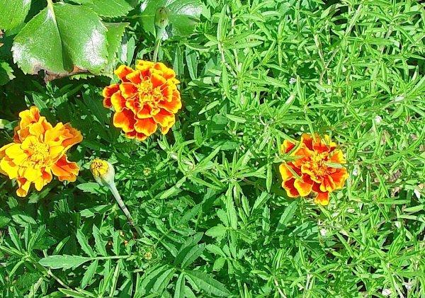 Tagetes ou ¼illet d'Inde...   Tagetes oder Studentenblume, Sammetblume, türkische Nelke...