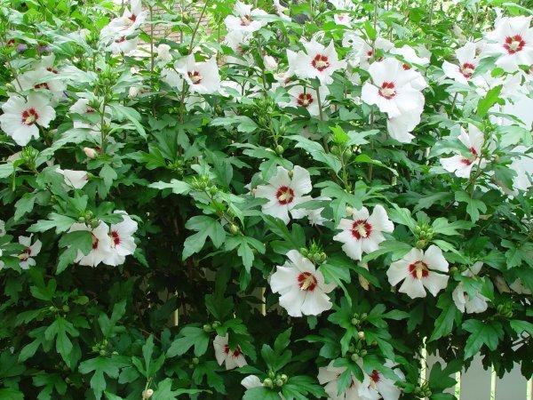 Hibiscus blanc rouge...   Hibiskus weiß und rot ...