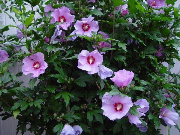 Hibiscus mauve-rouge...   Hibiskus Lila-Rot ...