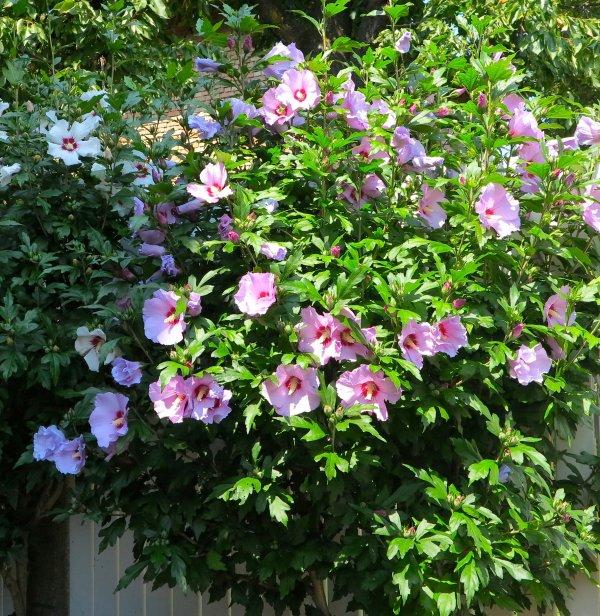arbuste d 39 hibiscus rose mauve du c t du vieux mur hibiskusstrauch lila und. Black Bedroom Furniture Sets. Home Design Ideas