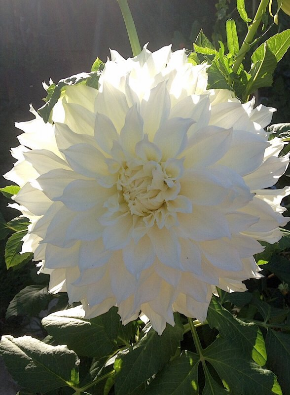 Le dahlia blanc resplendit sur le fond lumineux du soleil................   Die weiße Dahlie glänzt auf dem leuchtenden Grund der Sonne.