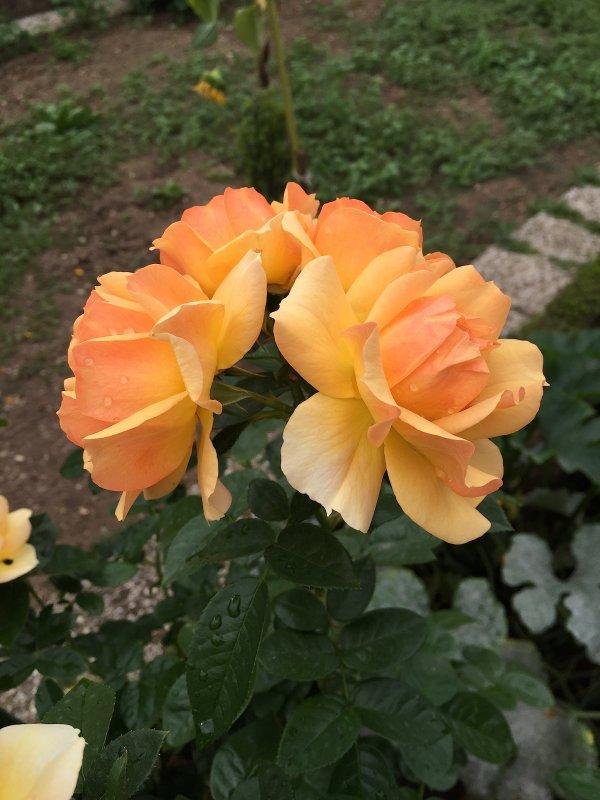 Les dernières roses cognac orange que j'aime particulièrement.  Die letzten Rosen orangefarbiger Kognak, den ich besonders gern habe.