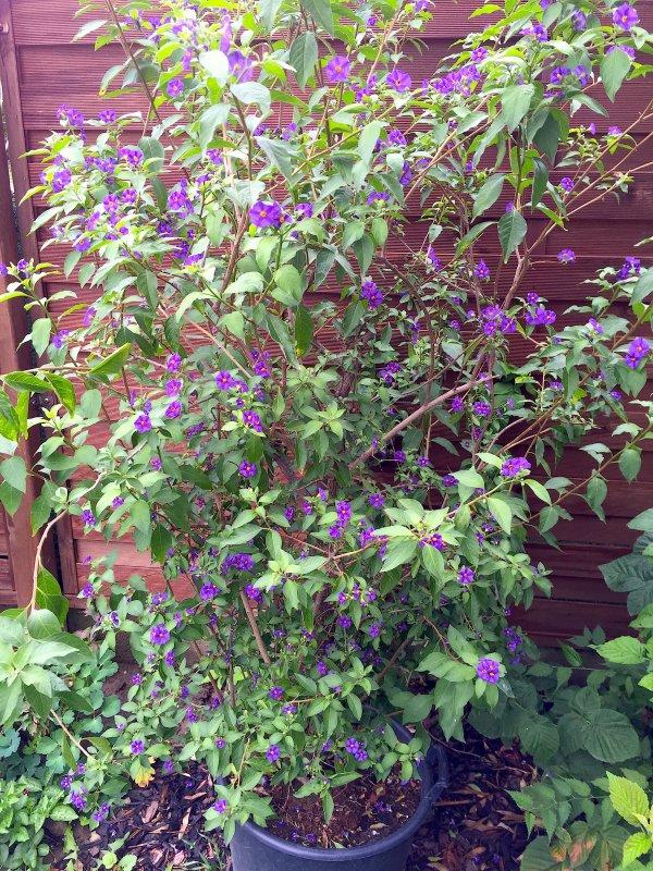 Protégé des intempéries mon arbre à gentianes fleuri encore...  Geschützt der Temperaturschwankungen meinen Enzianbaum blüht noch.