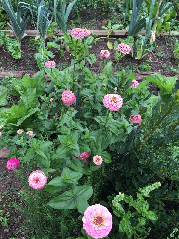 Zinnias roses pour fleurir l'automne qui avance à grands pas...... Rosa Zinnien, um den Herbst zu blühen lassen, der mit großen Schritte  vorrückt.