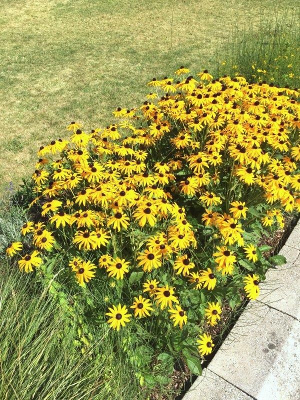 Les rudbeckias décorent encore le bord de la pelouse....................  Die Rudbeckien schmücken noch den Rand des Rasens.