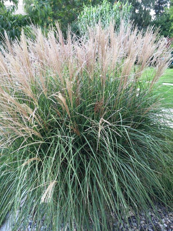 Avant que l'hiver arrive, vite une photo de mon herbe des pampas.  Bevor der Winter ankommt, schnell ein Foto mein Gras der Pampa.