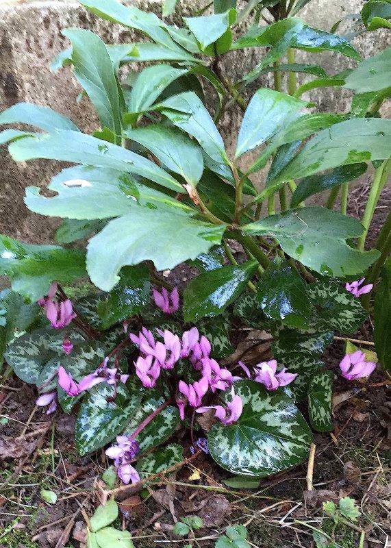 Les cyclamens avec l'humidité de ces jours commencent à fleurir.   Die Alpenveilchen mit der Feuchtigkeit dieser Tage beginnenzu blühen.
