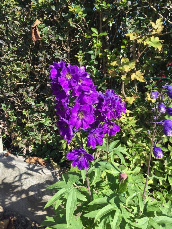 Les Dauphinelles ou Pieds-d'alouette fleurissent difficilement....   Jetzt blühen die Rittersporn  kaum noch, schwerlich…