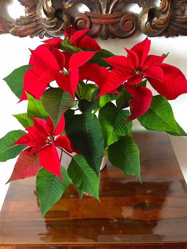 Pas de fêtes de noël sans une étoile de noël d'un rouge roi....... Dieses Jahr kein Weihnachtsfest ohne einen Weihnachtstern mit König rote Farbe.