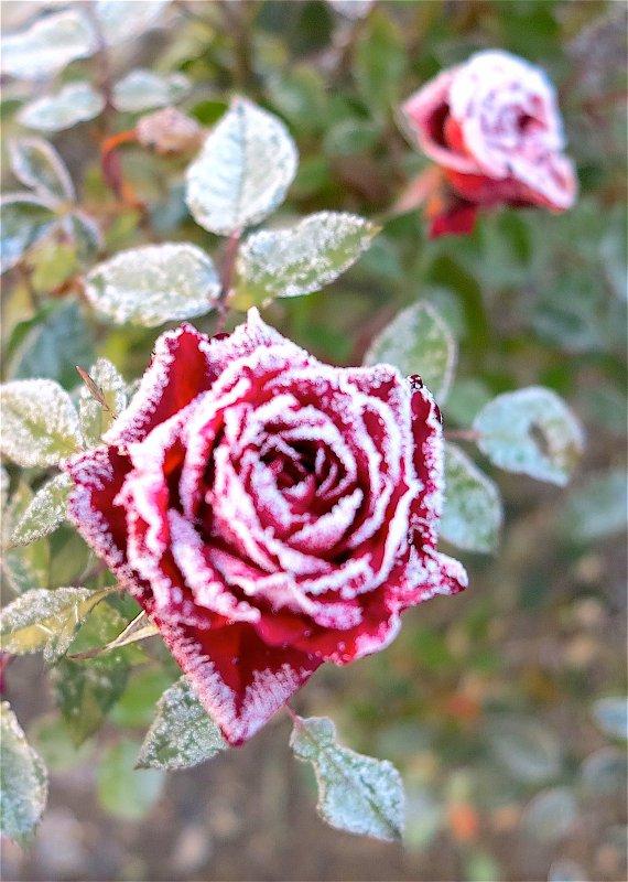 Une rose au coeur de l'hiver.Texte:A.Gousset / Musique: Les Reed. Eine Rose im Herzen des Winters. Text: P. A. Dousset / Musik:Les Reed