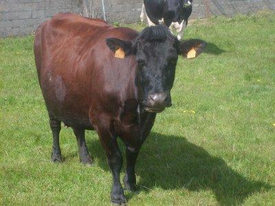 une vache flamande