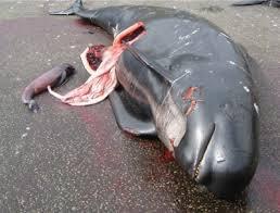 Massacre des dauphins !