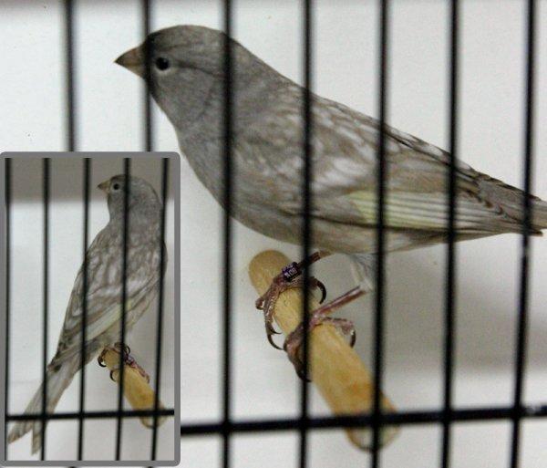 Le noir « ailes grises »