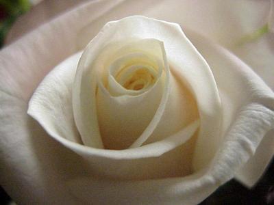 una bella rosa a te ........................