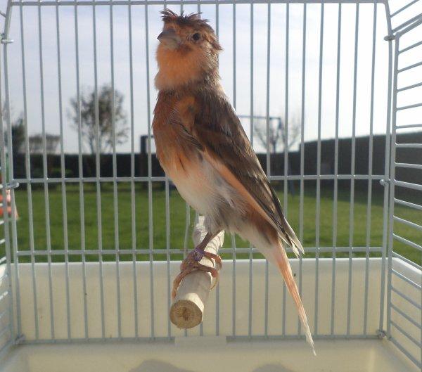 2 jeune du moi d aout en pleine mue 2 oiseaux offert par un amie (David)