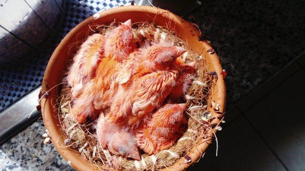 a 5 dans le nid rar chez moi cette année niché lipo rouge