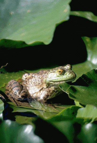 Encore une grenouille !