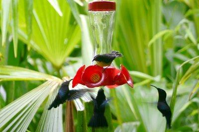un petit Colibri
