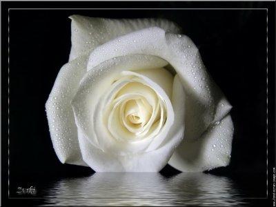 une rose blanche pour  dire due l'slam ne veus pas dire terorisme