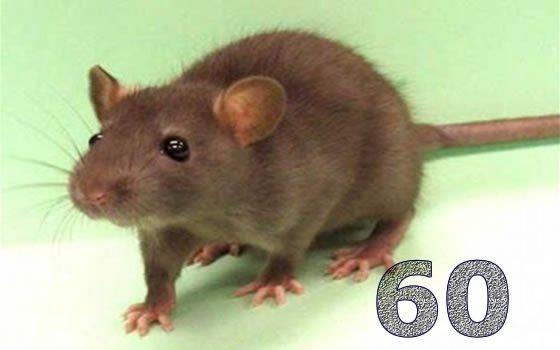 Afrique du Sud : un téléphone offert pour 60 rats attrapés