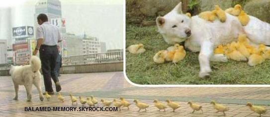 La chienne et ses canards