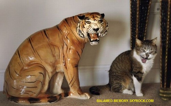 HUMOUR DE LA SEMAINE : chat-tigre