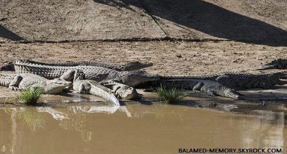 INFOS-INSOLITE : Les autorités sud-africaines sont en alerte, des milliers de crocodiles se sont échappés d'une ferme d'élevage après des inondations.