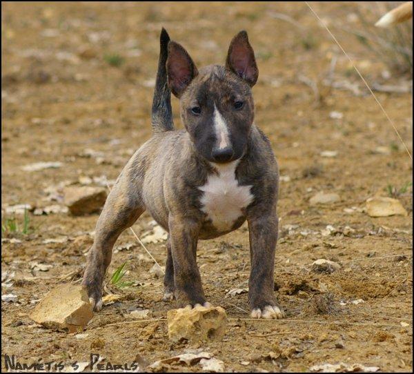 SWIRÄ   la petite dernière (bull terrier miniature)