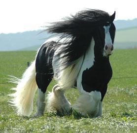 mes races de chevaux préférées