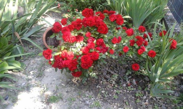 Le rosier du jardin d une amie....
