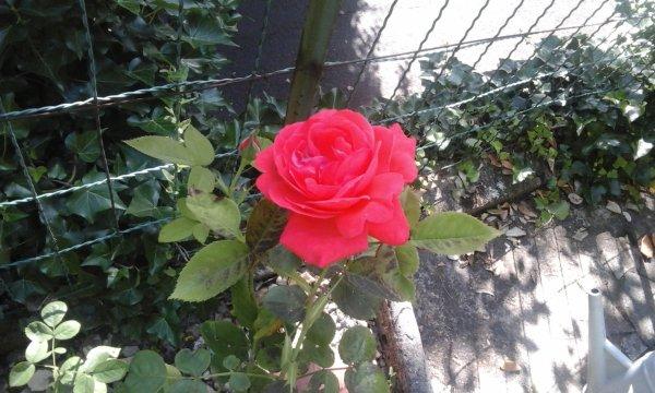 Une rose par ci par la. ...ce jardin est tres joli et très reposant