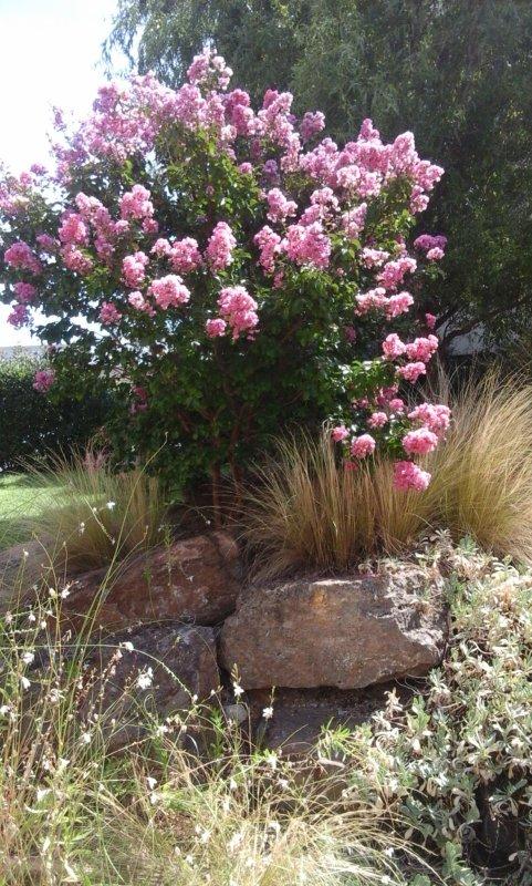 un très joli petit arbuste fleuri....pour vous souhaiter une bonne soirée