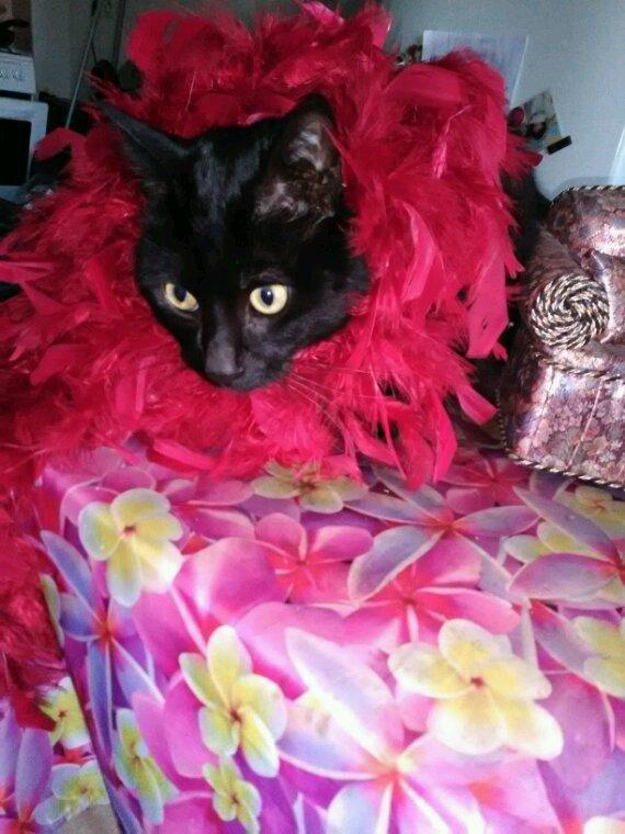 Non non je n'ai pas toujours était sage.....on dirait...Cachou...on dirait....soit il rêve d une soirée au Moulin Rouge....ou bien il veut que la fête continue.....