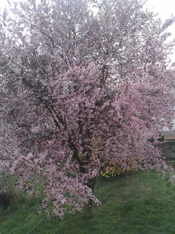 Un magnifique amandier en fleur, à Issoire....Puy de Dôme.... Aujourd'hui.