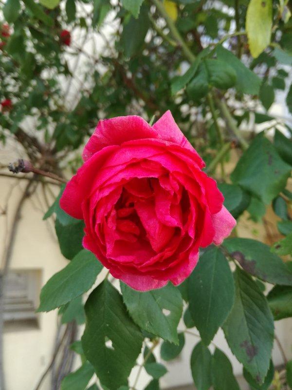 Et cette rose....aussi....