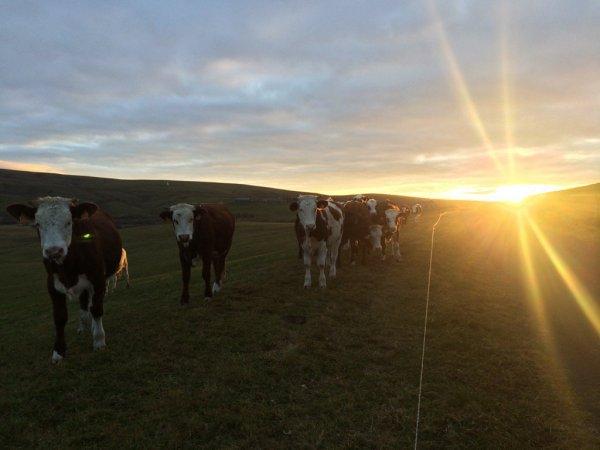 De jolies vaches....avec un beau coucher de soleil. Bonne soiree