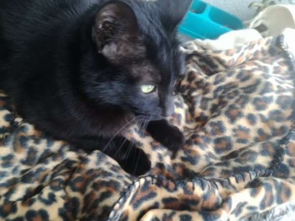 Mon Cachou aime sa couverture motif léopard....