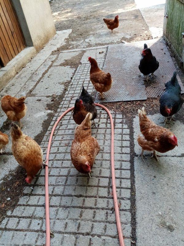 Mais où vont mes poulettes ainsi... Elles avancent à pas de velours...