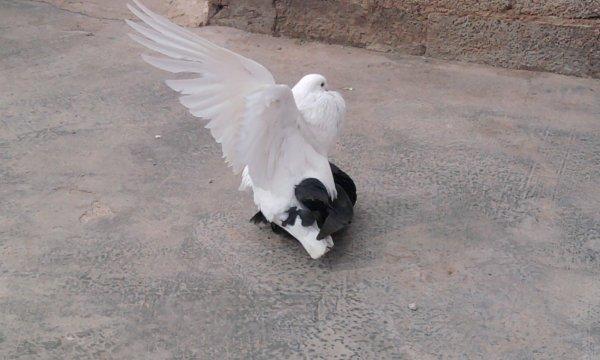L'amour chez les pigeons lol