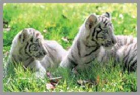 ~ Le tigre blanc ~