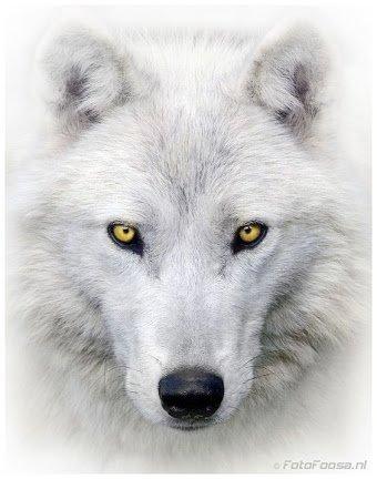Sa majesté le loup blanc. .....avec toute sa splendeur. .!!